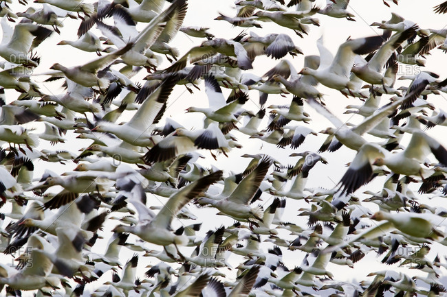 Hundreds of Snow Geese flying