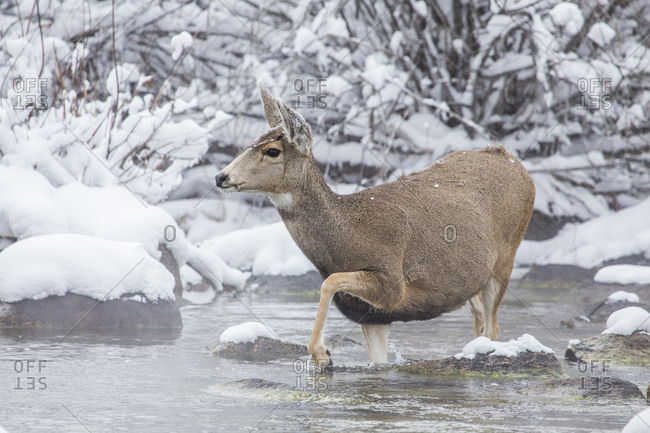 USA, Wyoming, Sublette County, A mule deer doe crosses Pine Creek as it migrates during a snowstorm.