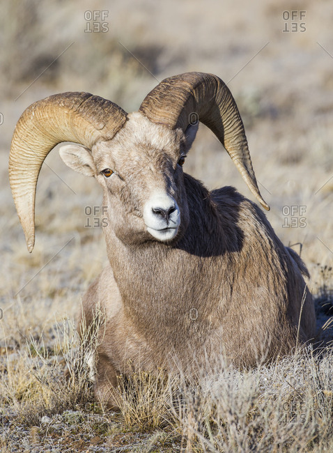 USA, Wyoming, Teton County, National Elk Refuge, Bighorn sheep ram lying down on frosty grasses