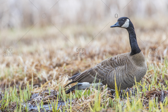 USA, Wyoming, Sublette County, Pinedale, Canada Goose standing in sedge wetland in early spring with water on his chest.