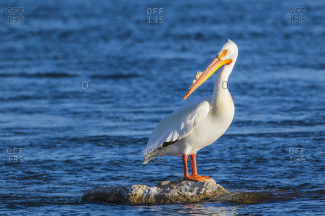 USA, Wyoming, Lincoln County, an American White Pelican roosts on a rock in the Green River with evening light.