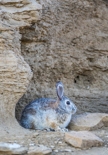 USA, Wyoming, Lincoln County, Cottontail Rabbit resting by it's den in desert area with rock formation