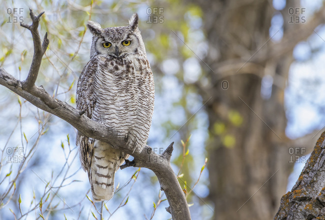 USA, Wyoming, Lincoln County, Great Horned Owl perches on a limb of a cottonwood tree.