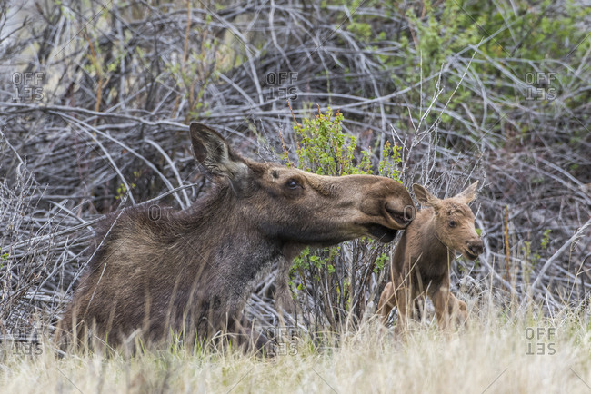 USA, Wyoming, Sublette County, newborn moose calf tries to stand with it's mother nuzzling for encouragement.