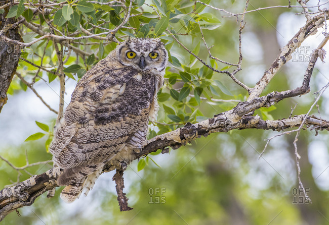 USA, Wyoming, Lincoln County, recently fledged Great Horned Owl roosts in a cottonwood tree.