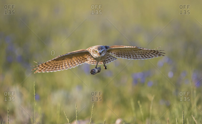 USA, Wyoming, Sublette County, Pinedale, A Burrowing Owl flies into it's burrow with a rodent to feed it's young.