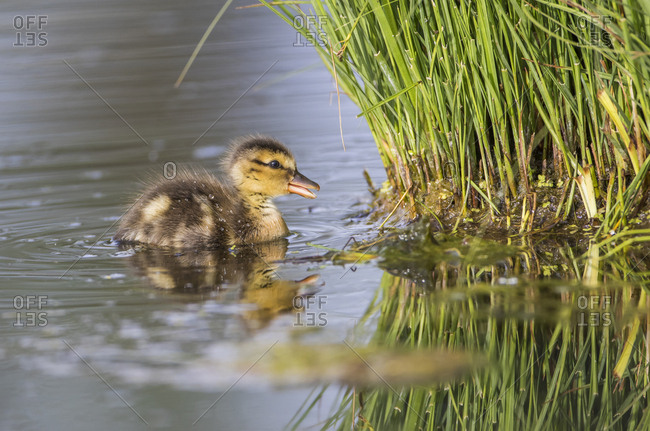 USA, Wyoming, Sublette County, newly hatched Cinnamon Teal duckling swims on a pond.