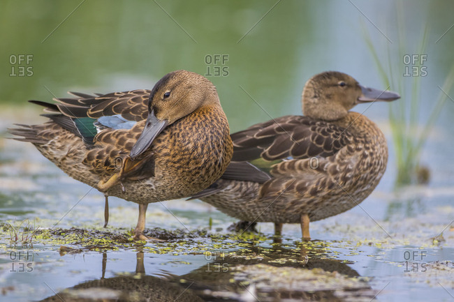 USA, Wyoming, Sublette County, two Cinnamon Teal young stand in a wetland with one preening his foot.
