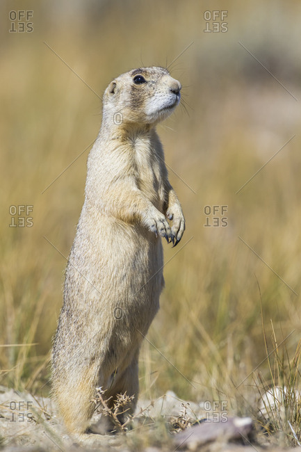 USA, Wyoming, Sublette County, White-tailed Prairie Dog stands on it's hind legs for a better view.