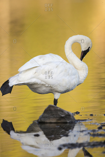 Trumpeter Swan preening, Cygnus buccinator, reintroduced to the Yellowstone basin, Yellowstone National Park, Wyoming, wild