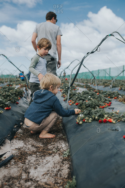 Children picking strawberries with father