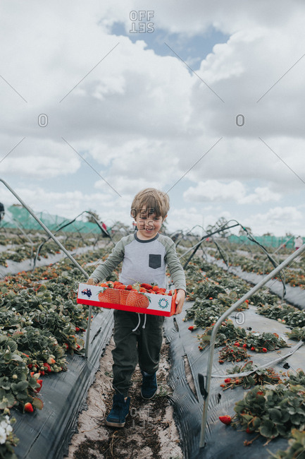 Boy carrying box filled with fresh-picked strawberries