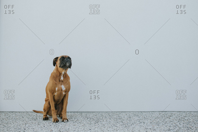 Portrait of a boxer dog against a white wall