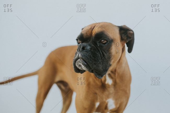 Portrait of a brown boxer dog