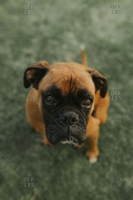 Overhead portrait of seated boxer dog