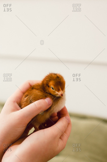 Hands of a child holding baby chick