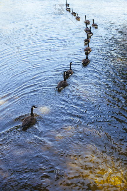 Canadian geese swimming in lake water