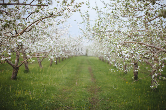 Apple orchard blossoms in spring