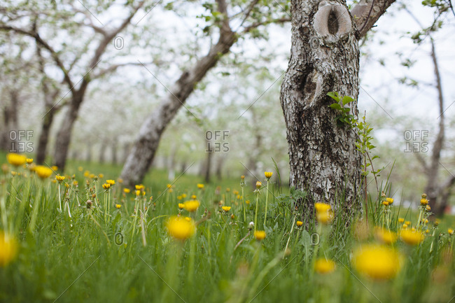 Dandelions, grass, and blossoming apple trees