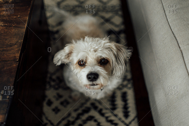 Small white dog with ears perked