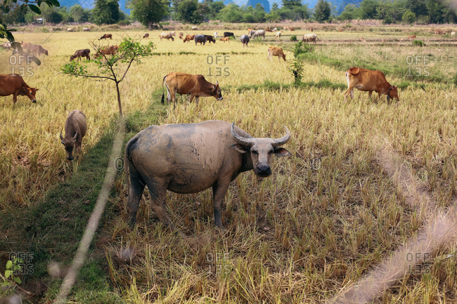 Cow herd in rural Laos