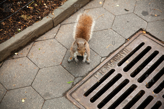 Squirrel on the ground in Gramercy Park in New York City