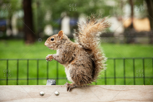 Squirrel on a bench in Gramercy Park in New York City