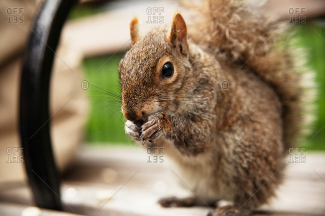 Close up of a squirrel eating food on a bench in Gramercy Park in New York City