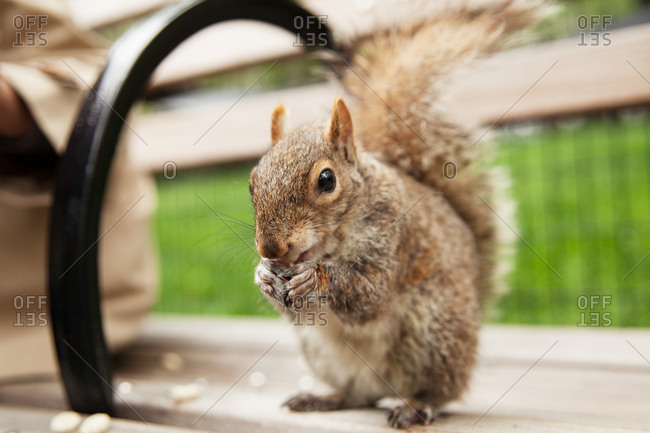 Close up of a squirrel eating snack on a bench in Gramercy Park in New York City