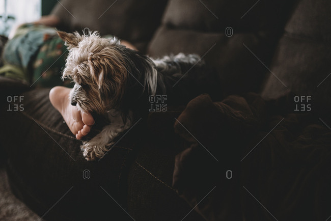 Low section of boy with Yorkshire Terrier relaxing on sofa at home
