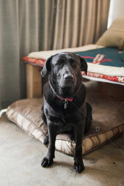 Close-up of black Labrador Retriever sitting at home