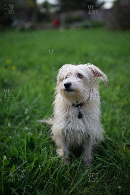 Small white dog sitting on lawn