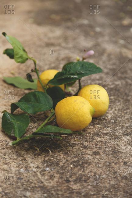 Fresh lemons on a branch