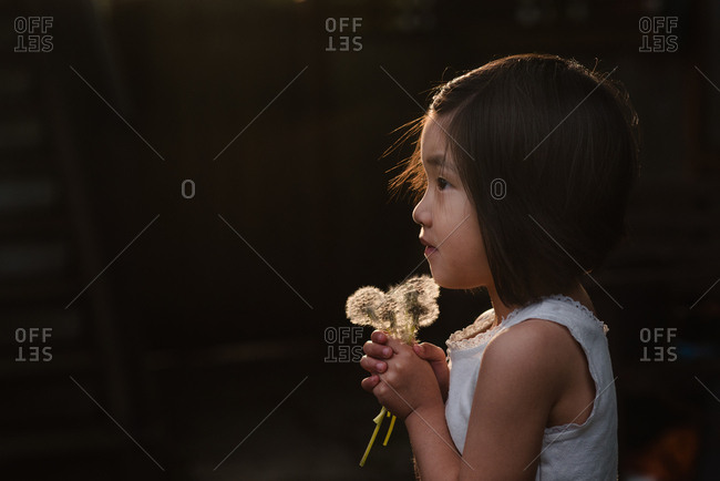 Preschool aged girl holding dandelion seed heads