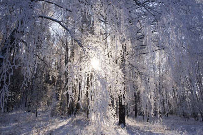 Winter forest, Ural, Russia