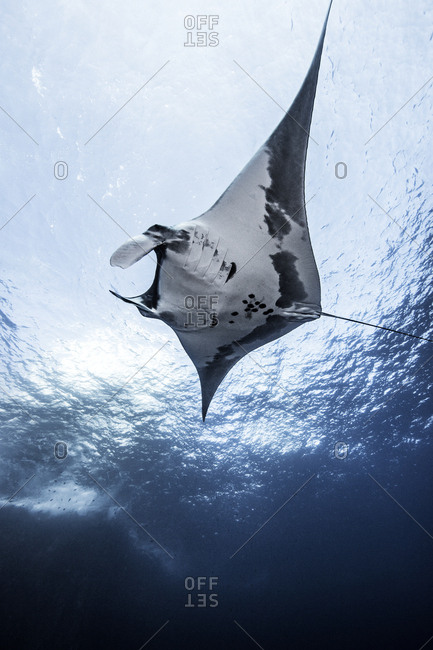 Giant Ocean Manta, underwater view, Socorro, Mexico