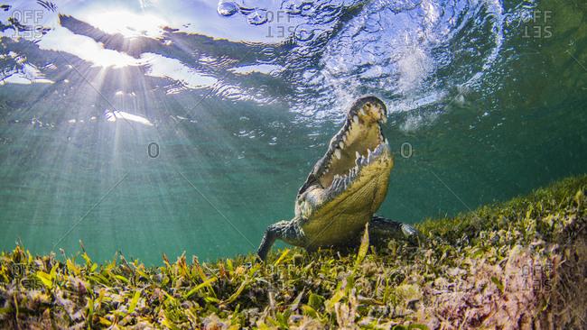 Saltwater Crocodile, underwater view, Chinchorro Banks, Mexico