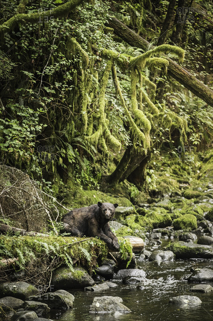 Portrait of black bear waiting to catch salmon on riverbank, Ucluelet, Vancouver Island, British Columbia, Canada