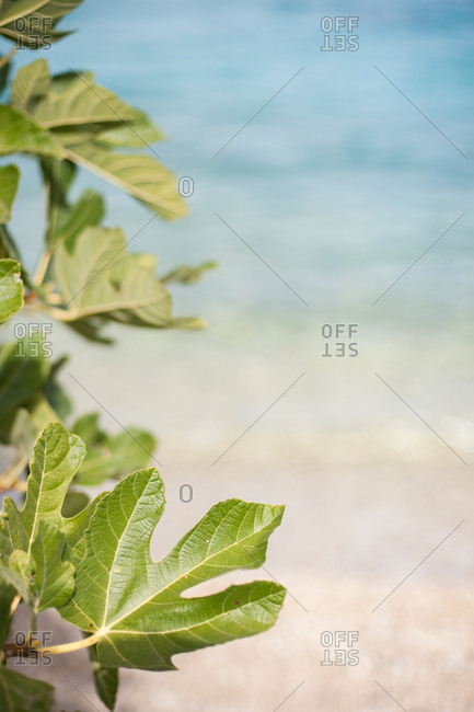 Fig leaves at beach in Ithaca, Greece