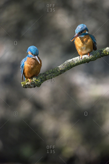 Two kingfisher birds perched on branch looking down into water for fish.