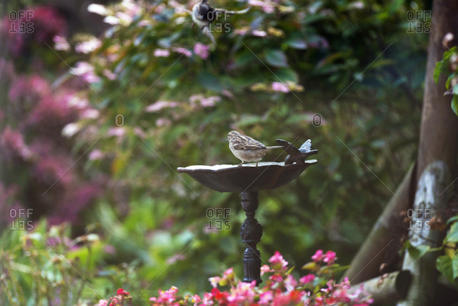 House sparrow on edge of drinking bowl in backyard.