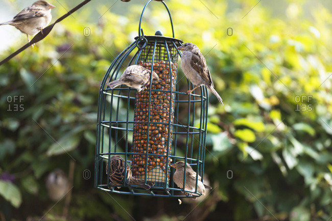 House sparrows on hanging feeder in summer garden.