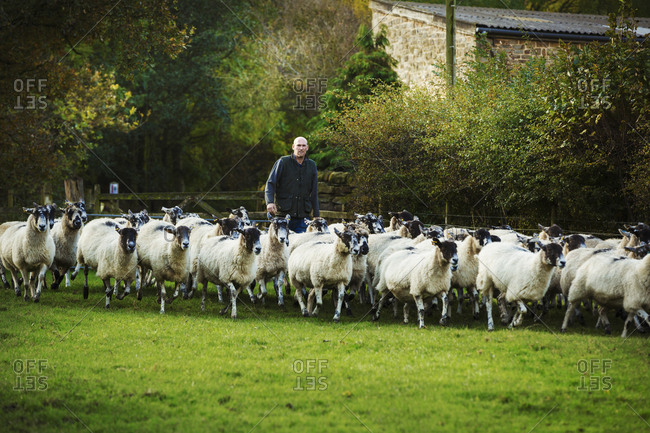Sheep farmer on a meadow with a large flock of sheep.