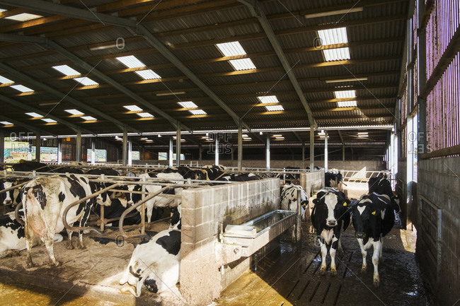 Livestock on a farm. Cows in a barn in winter.