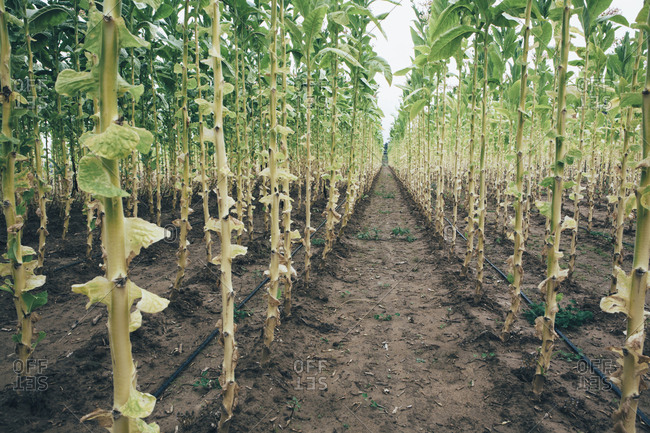 Field tobacco planted in straight rows growing in the fields around Cortona. Watering system, hose pipes on the soil.