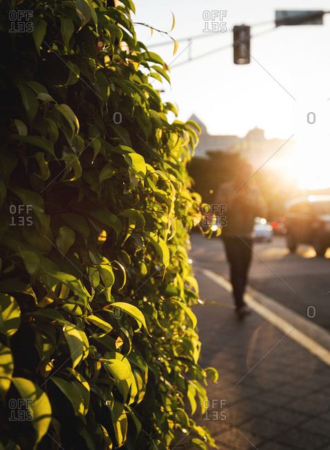 View of a bush with man walking on the sidewalk in Fort Lauderdale, Florida