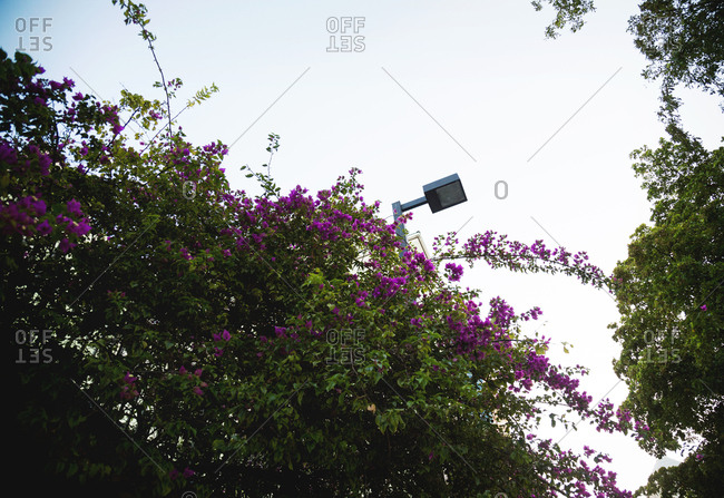 View of bougainvillea growing along street in Fort Lauderdale, Florida