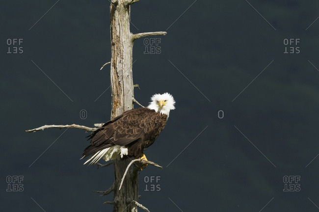 Adult Bald eagle (Haliaeetus leucocephalus) perched on saltwater-killed tree in Portage Valley in South-central Alaska, Alaska, United States of America