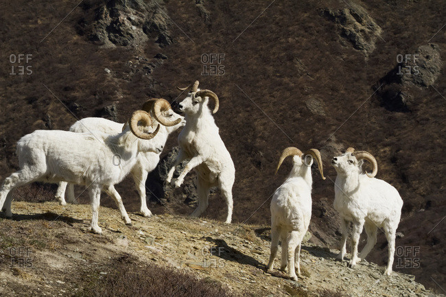 Dall sheep (ovis dalli) rams sparring in South-central Alaska, Chugach Mountains near the Seward Highway, Alaska, United States of America