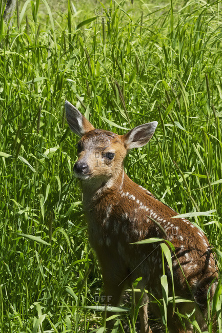Captive Black-tailed deer (Odocoileus hemionus) fawn at the Alaska Wildlife Conservation Center in summertime, Portage, Alaska, United States of America